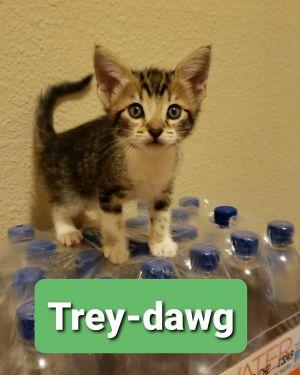 Trey-Dawg Domestic Short Hair Cat