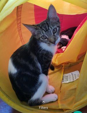 Vampi Domestic Short Hair Cat