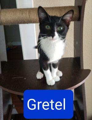 Gretel Domestic Short Hair Cat
