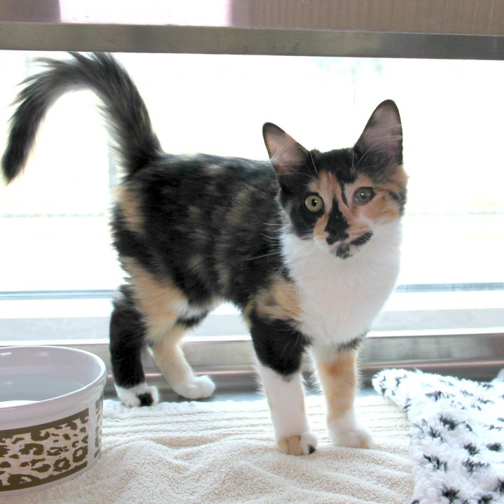 Adena, an adopted Domestic Long Hair Mix in Clovis, CA