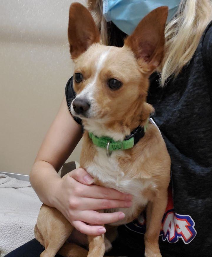 Arcade, an adopted Chihuahua Mix in Naperville, IL