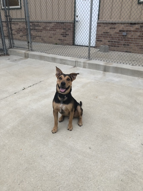 Craig, an adopted Shepherd Mix in Naperville, IL