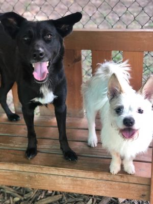 Marley and Sugar Bonded Pair Cairn Terrier Dog