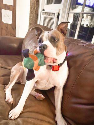 Nora Pit Bull Terrier Dog
