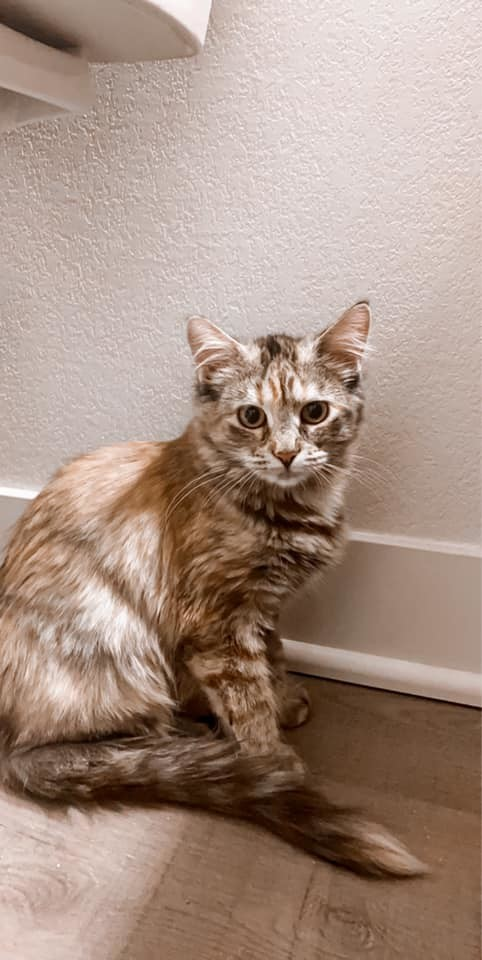 Mila, an adoptable Domestic Medium Hair & Torbie Mix in Manhattan, KS