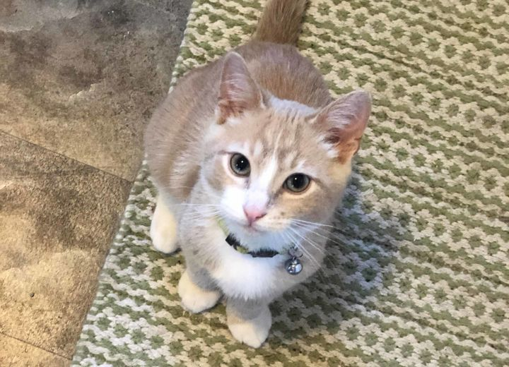 Tiny Tim, an adoptable Domestic Short Hair in Pierre, SD