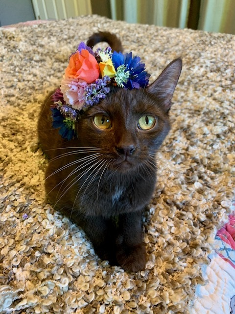 Quinn, an adopted Domestic Short Hair in Minneapolis, MN