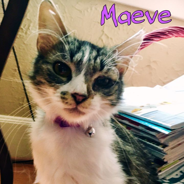 Maeve, an adoptable Domestic Medium Hair Mix in PORTLAND, OR