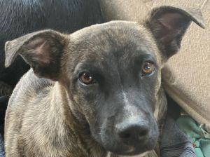Neil is a five month-old ShepherdHound mix rescued from Puerto Rico If interested in adopting you
