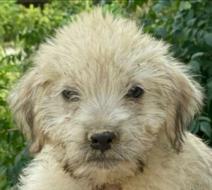 Tiny is a four month-old Wirehaired Terrier mix rescued from Puerto Rico If int