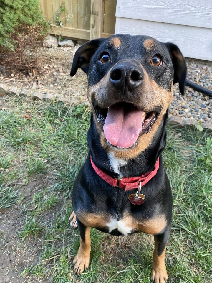 Rocky3, an adoptable Rottweiler in Lincoln, NE