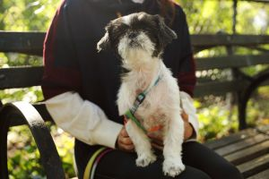Sasha -- 11 years 8 lbs but must lose a pound or two Shih Tzu Female If youre full on