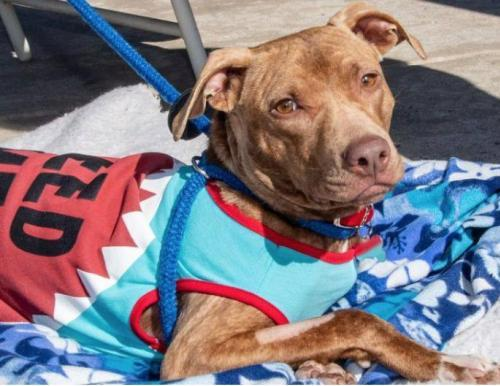 Hardey, an adoptable American Staffordshire Terrier Mix in Alpharetta, GA
