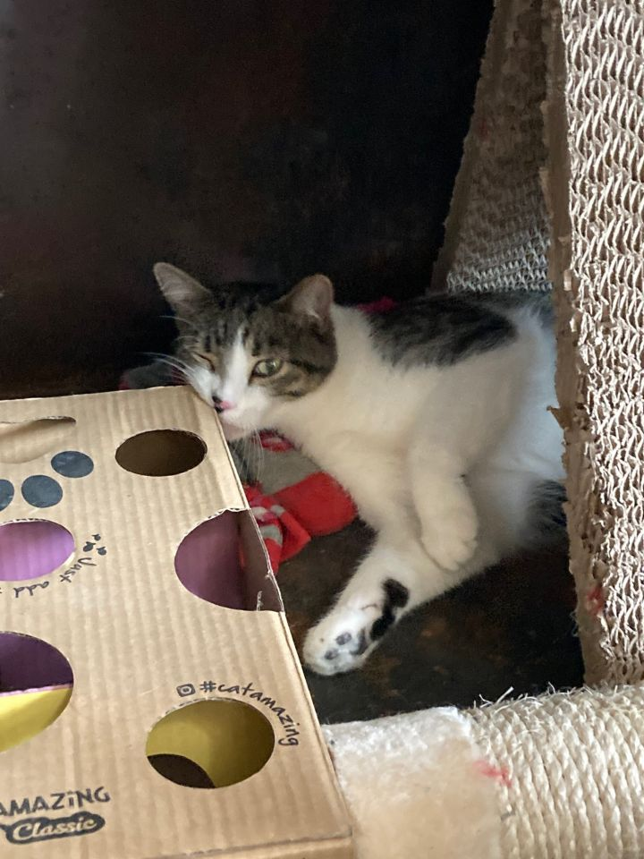 Tuna, an adoptable Domestic Short Hair in Ridgway, CO
