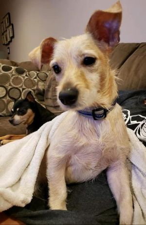 Scrappy is a little handsome Terrier mix at about 9 months old Hes about 12 pounds now but may fil