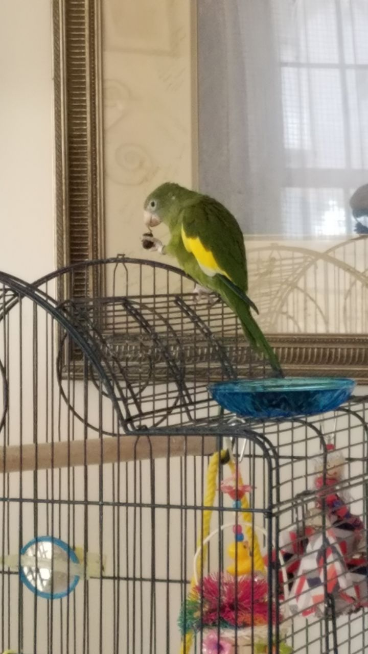 Bee-Bee (Canary-Winged Parakeet) 1