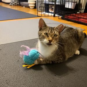 Thelma is very sweet and a little shy at first She is looking for someone to cuddle with Her mild