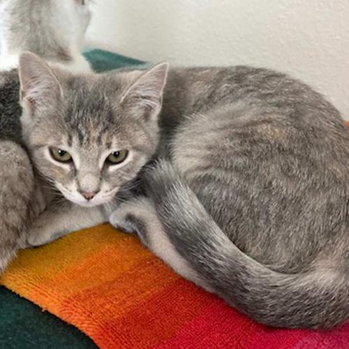 Dritton, an adoptable Dilute Tortoiseshell & Domestic Short Hair Mix in Springfield, OR
