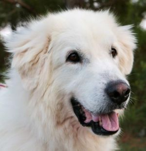 Forever a southern gentle Pyr You wont be in better company than with Jingo