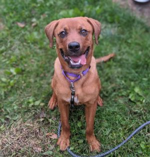 Nala is a gorgeous super sweet 1-year-old lab mix looking for a loving home She weighs just 40 lbs
