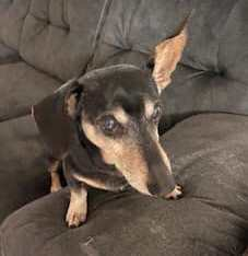 Caillou Cuddles is a sweet and comical little dog He is 13 yrs old but you would never know it