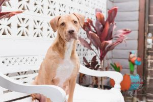 Meet Dora Dora is a lovely Lab Hound mix who is about 2 years old and weighs around 50-65lbs She