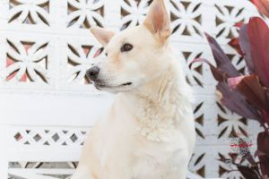 Meet Ginger Ginger is Beautiful shepherd mix who is about 5 years old and is around 55lbs Ginger l