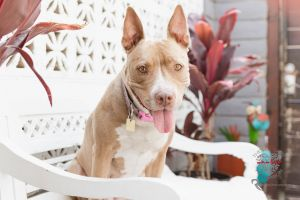 Meet Sienna B Sienna is a 9 year old amazing Pitbull mix who is weighs around 50 lbs Sienna is