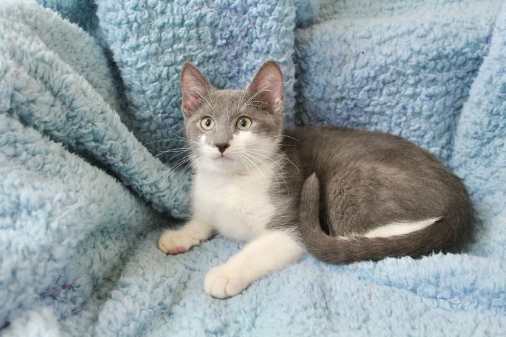 Lingering Link, an adopted Domestic Short Hair in Saint Augustine, FL_image-2