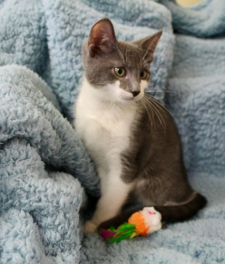 Lingering Link, an adopted Domestic Short Hair in Saint Augustine, FL_image-3