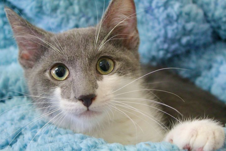 Lingering Link, an adopted Domestic Short Hair in Saint Augustine, FL_image-4