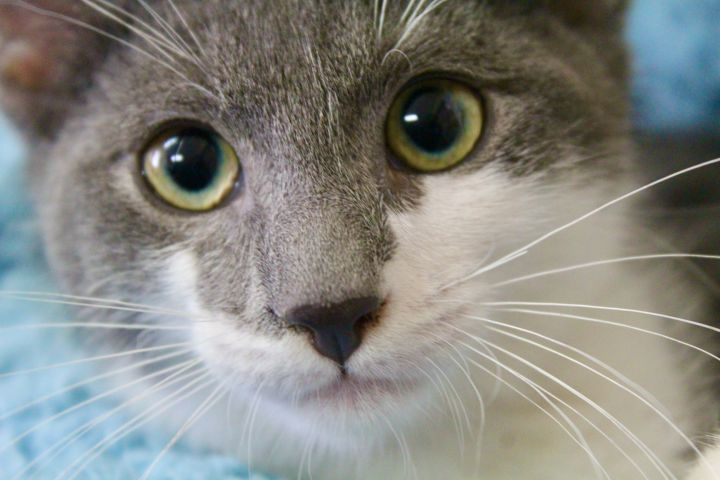 Lingering Link, an adopted Domestic Short Hair in Saint Augustine, FL_image-5