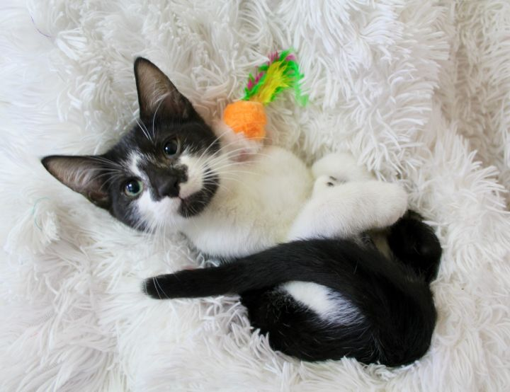 Nimble Nabi, an adoptable Domestic Short Hair in Saint Augustine, FL