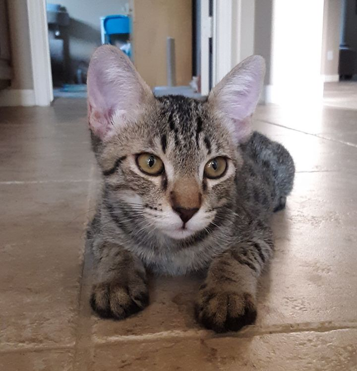 Graham, an adoptable Tabby in Phoenix, AZ