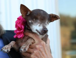 Letty Chihuahua Dog