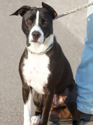 Callie is a playful young dog looking for the perfect family She is house trained and got along wit