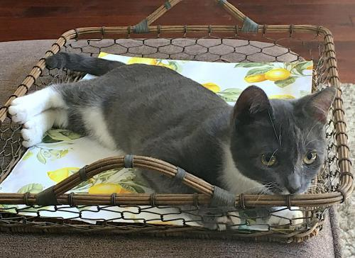Thakoon, an adoptable Tuxedo & Domestic Short Hair Mix in Springfield, OR