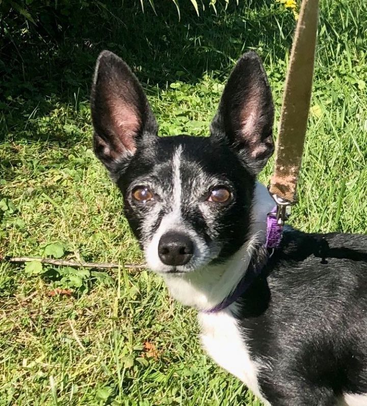 Gizmo, an adoptable Chihuahua Mix in Kittanning, PA