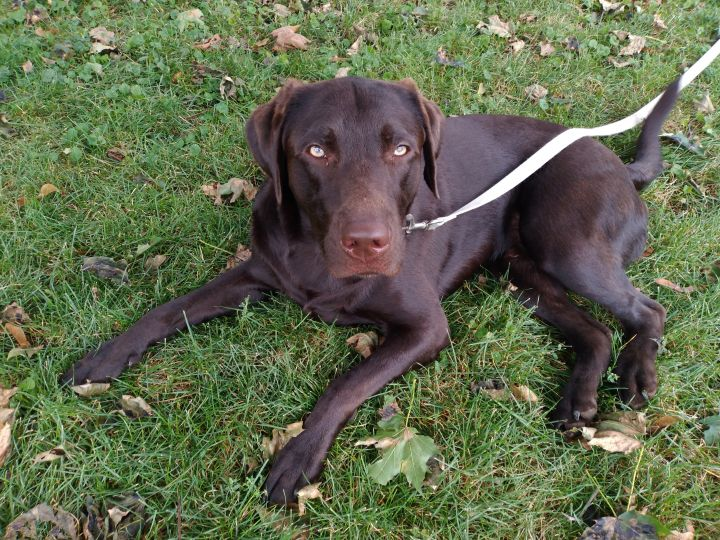 Gunner, an adoptable Labrador Retriever in Webster, NY