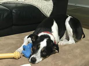 Auggie, an adoptable Border Collie Mix in Winter Park, CO