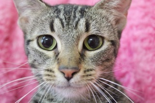 Rajah, an adoptable Tabby in Saint Augustine, FL