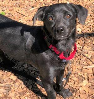 Phoebe (bonded pair) Black Labrador Retriever Dog