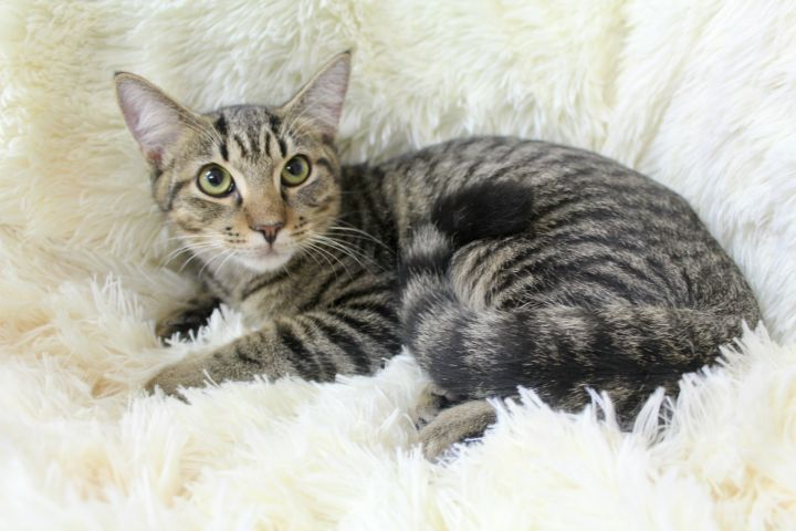Blazing Blake, an adopted Tabby in Saint Augustine, FL
