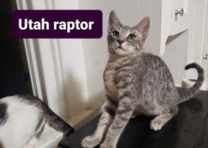 Utahraptor Domestic Short Hair Cat