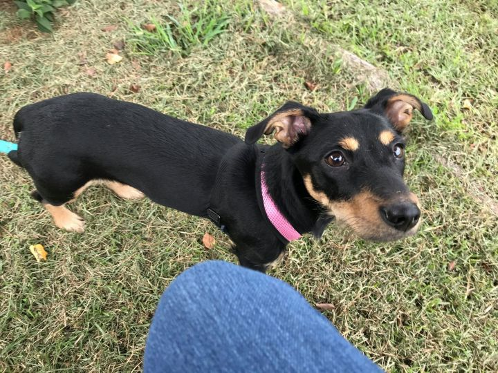 Trixie, an adoptable Terrier Mix in Greenville, NC
