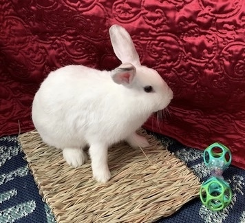 Jingle, an adopted Satin in Livermore, CA
