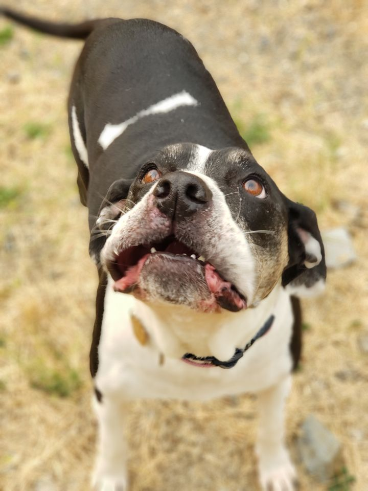 Mila, an adoptable Boxer & Pit Bull Terrier Mix in Jacksonville, OR