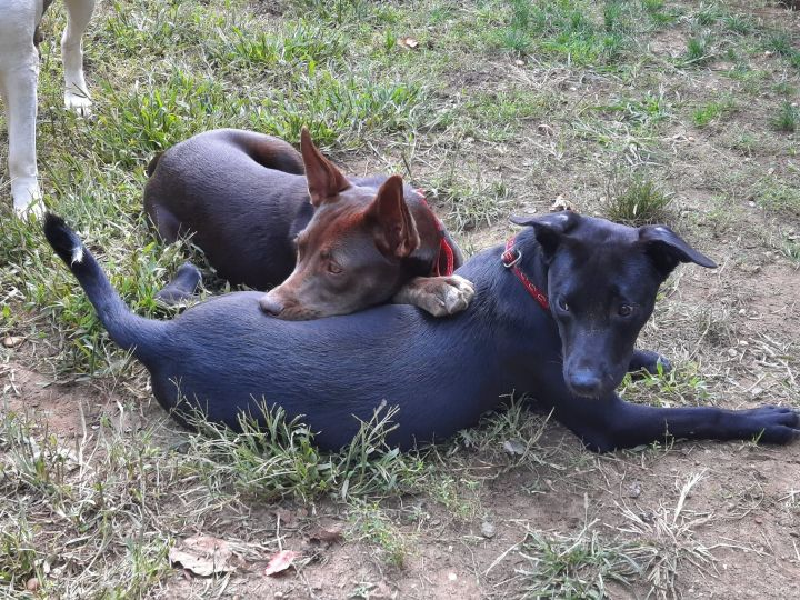 Taylor  Mini Pharaoh Hound Lab mixes 3