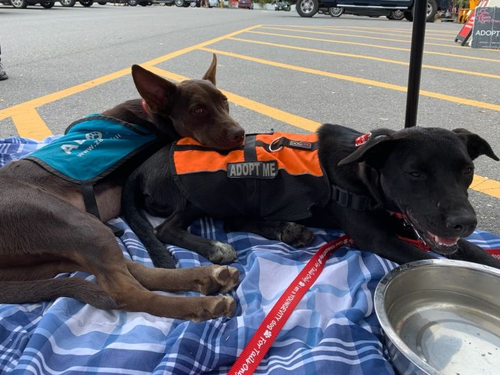 Taylor  Mini Pharaoh Hound Lab mixes 2