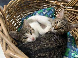 Bonnie & Clyde Domestic Short Hair Cat